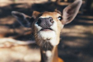 Deer close-up in Hocking Hills